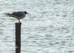 Mouette-Rieuse-4